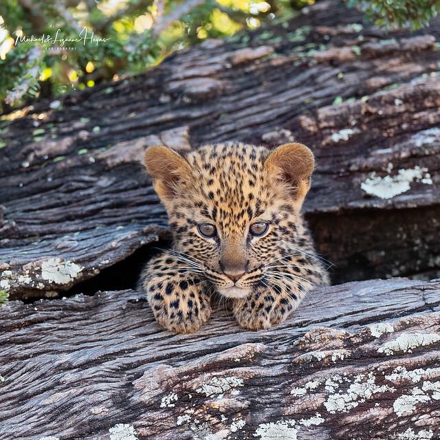 International Leopard Day