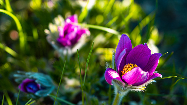 Colors of Pasque flowers