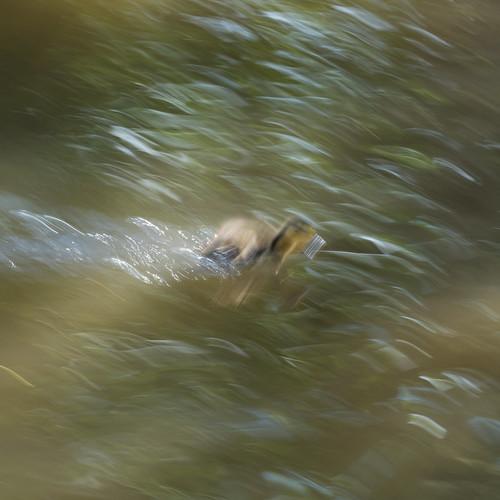Duckling deluge: canal near Mopps farm bridge