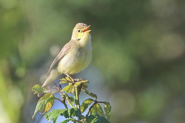 Felosa poliglota - Hippolais polyglotta - Melodious warbler