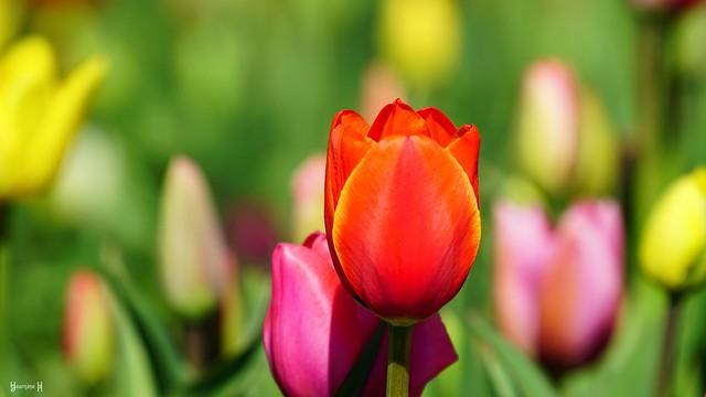 9696 - Tulips