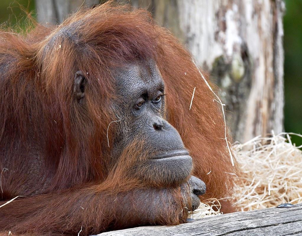 Thoughtful Borneo Orang-Utan