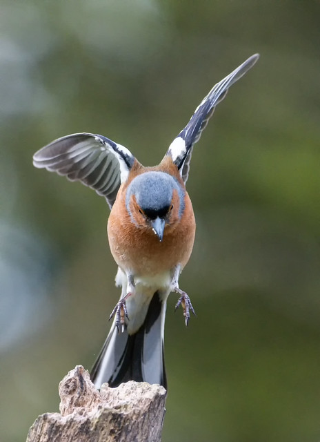 In Coming Chaffinch