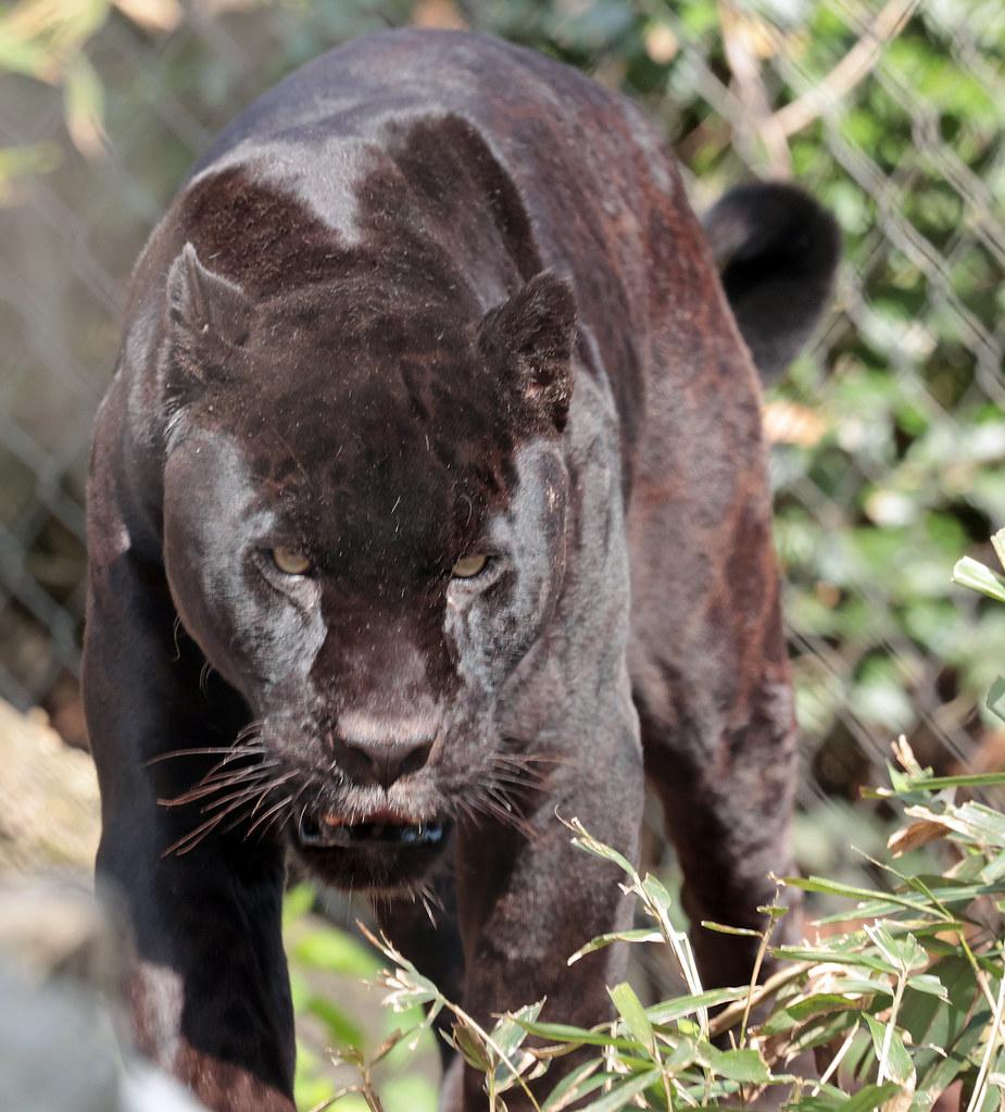Jaguar Mowgli artis 9K2A6072