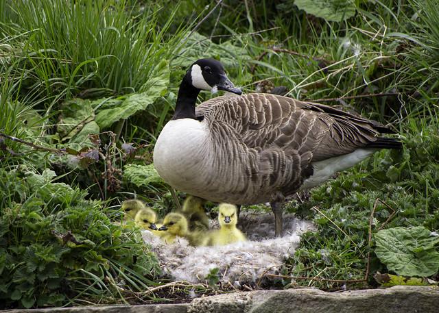Goslings in the nest