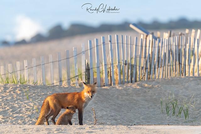 Red Fox | Vulpes Vulpes | 2021 - 10