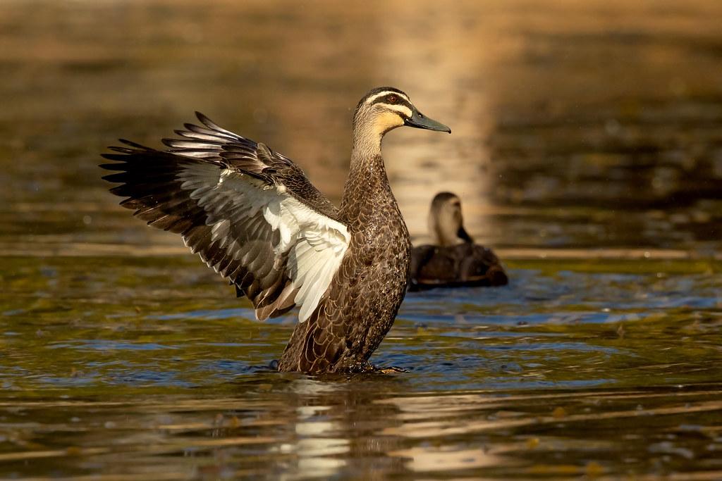 Pacific Black Duck (Anas superciliosa rogersi)