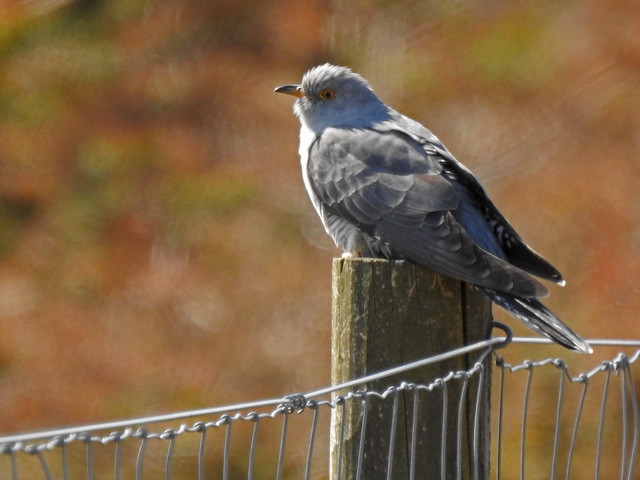 Cuckoo, Renton, Scotland