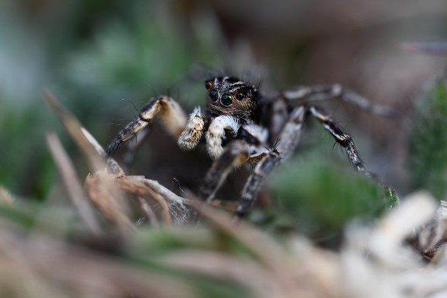 V-fronted Jumping Spider (Aelurillus v-insignitus)