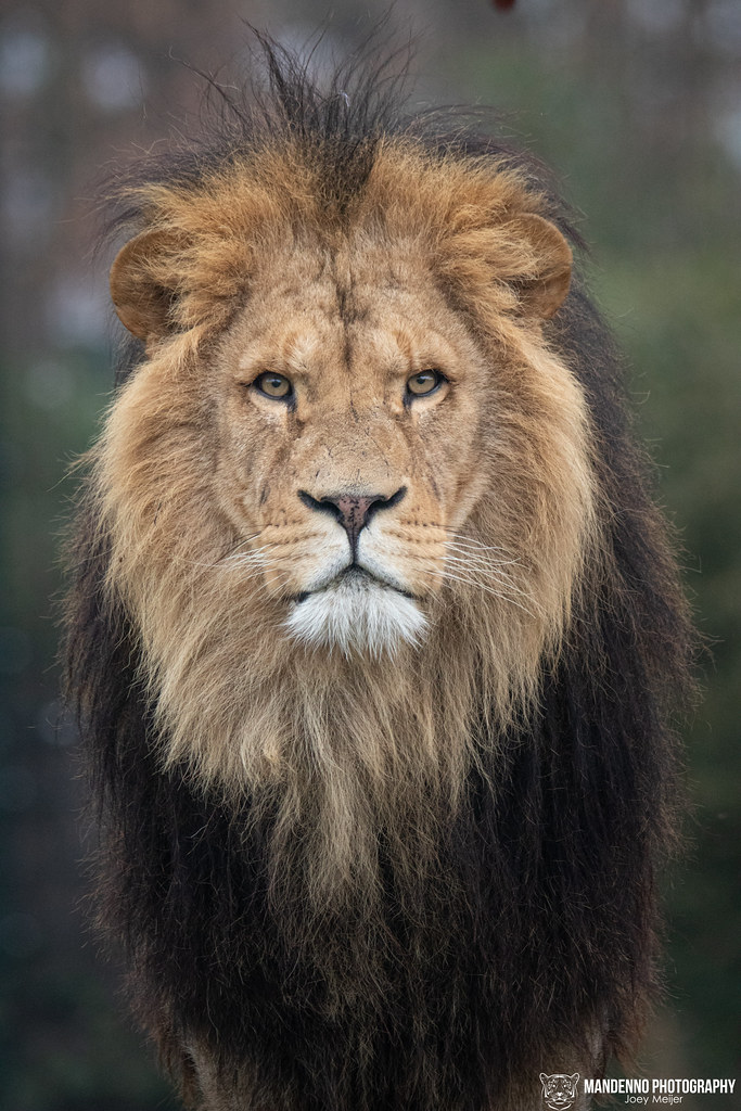 African Lion - Zooparc Overloon - The Netherlands