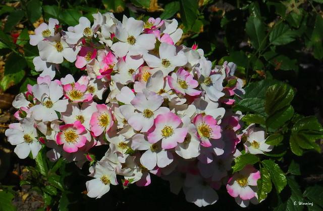 Mountain Rock Rose 7111