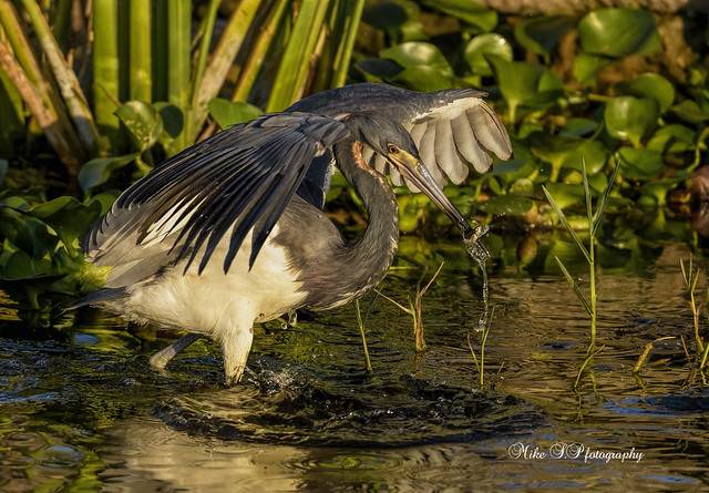Tricolored heron with prey