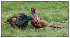 Garden Pheasants