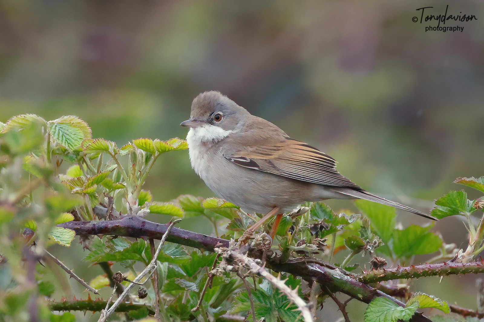 Common Whitethroat