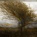 Windswept hawthorn