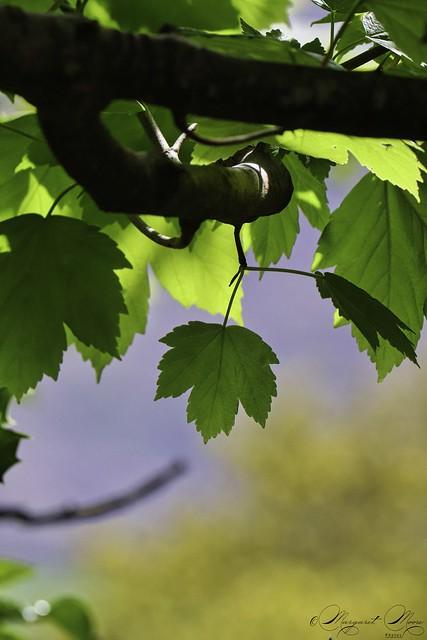 New sunlit leaves