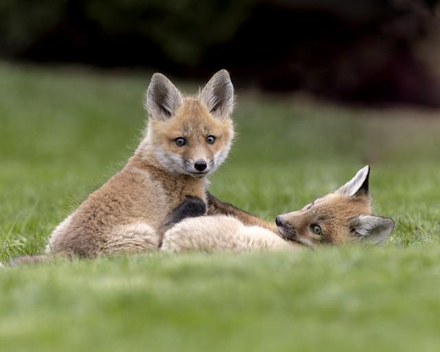 Fox Kits playing, Ontario