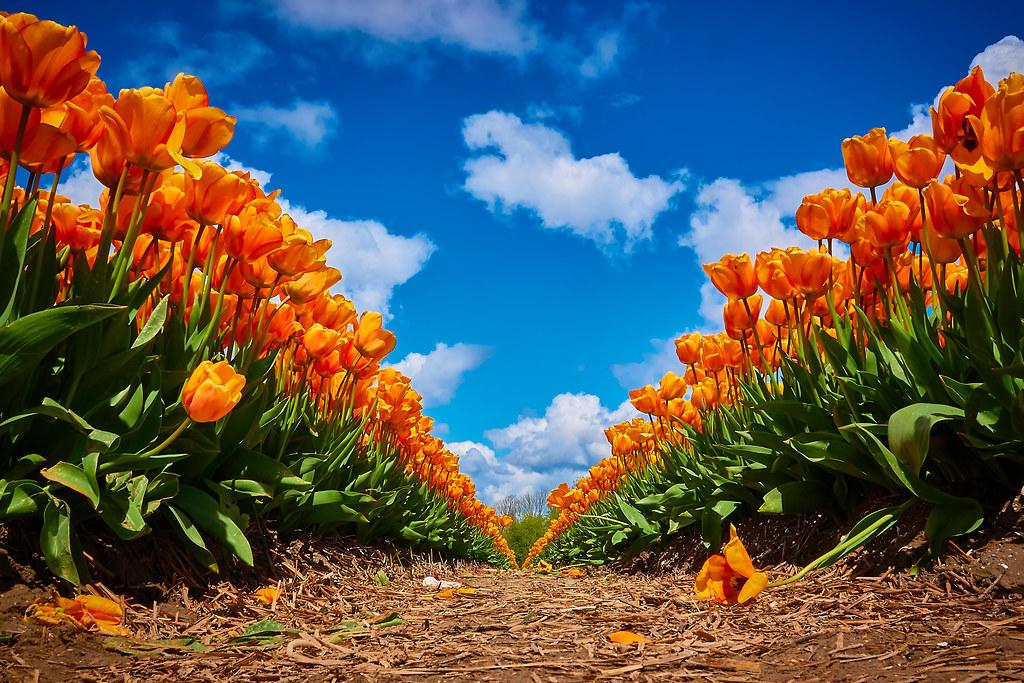 A tulip lane