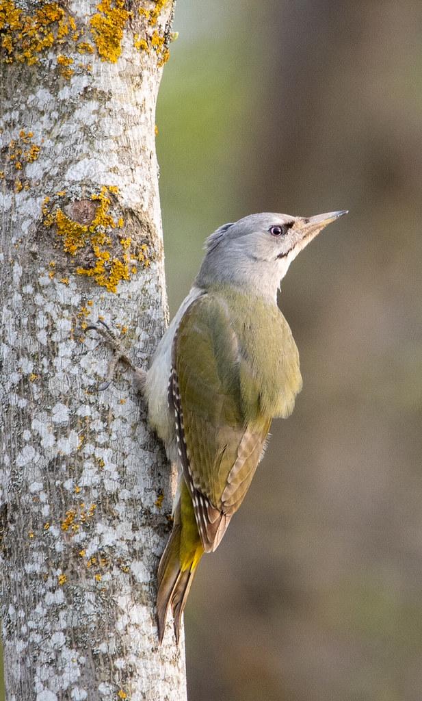 Grey-headed woodpecker - Grauspecht (Picus canus)