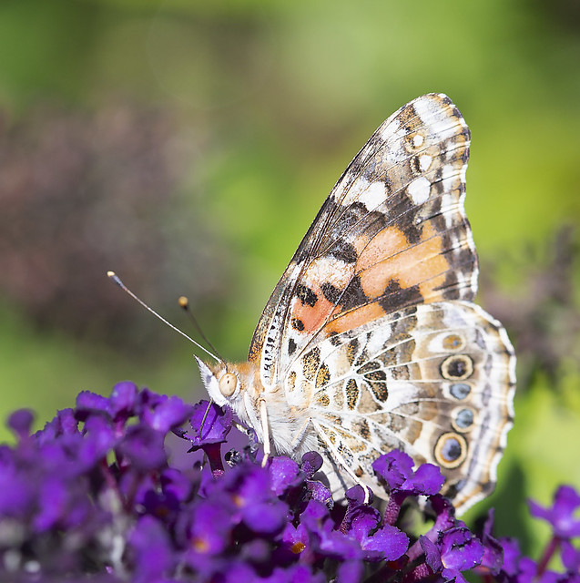Painted_Lady_Butterfly_GY8A5264