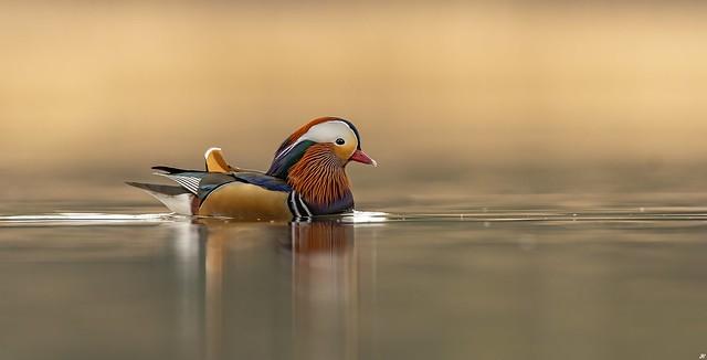 Mandarin Drake.