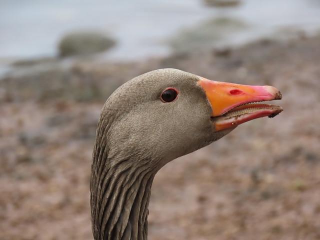 Greylag goose portrait