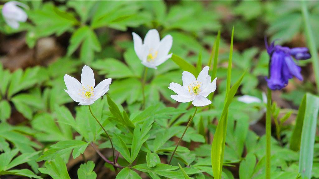 Woodland wildflowers..Wood anemone