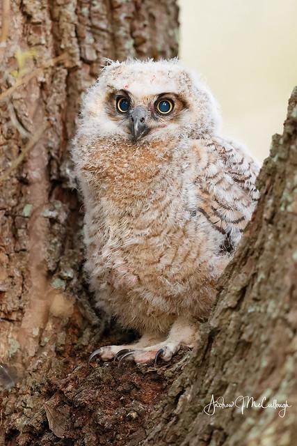 Great-horned Owlet
