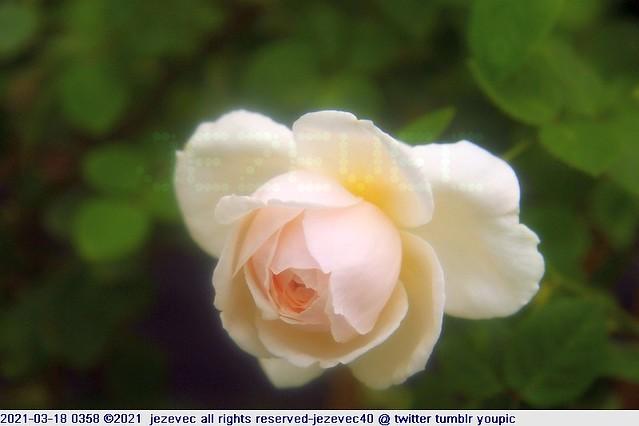 2021-03-18 0358 2021 Taipei Rose Festival  Rosa الوردة mawar Роза গোলাপ