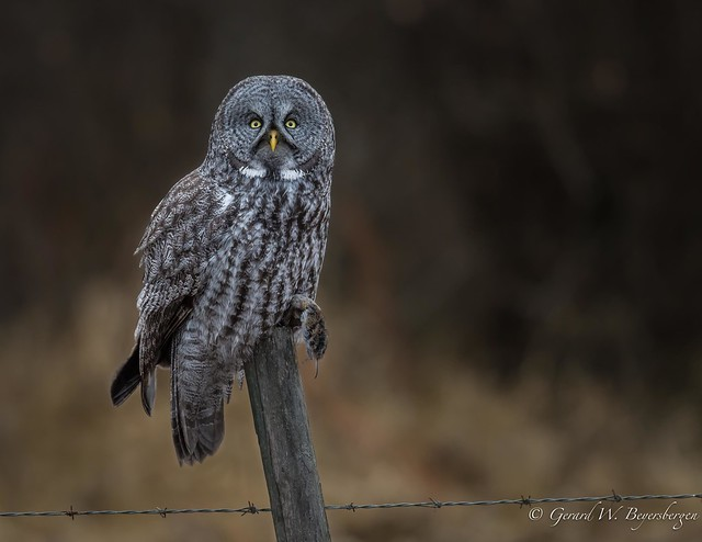Great Gray Owl and a Meal