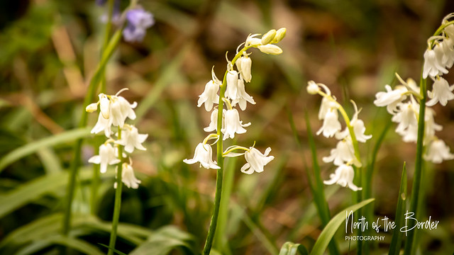 Rare white woodland bluebell