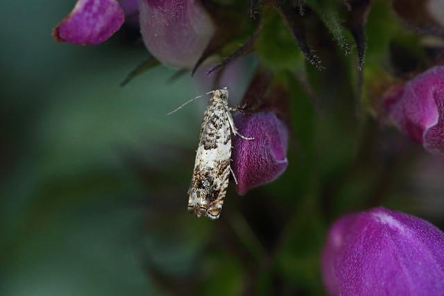 49.244 Epinotia subocellana, Craigmead, Fife