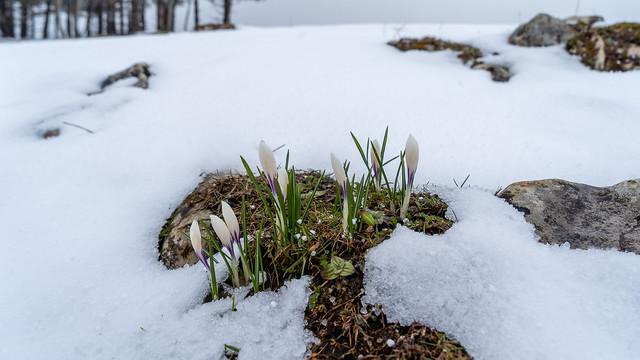 Weissenstein: white crocus in snow (1/3)