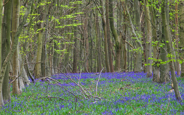 A CARPET OF BLUEBELLS IN THE FOREST