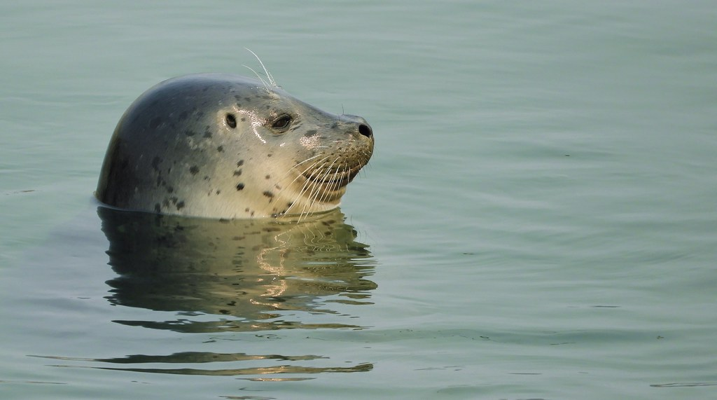Harbor Seal in the Harbor