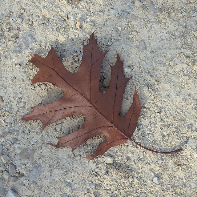Naperville, IL, McDowell Grove Forest Preserve, Oak Leaf