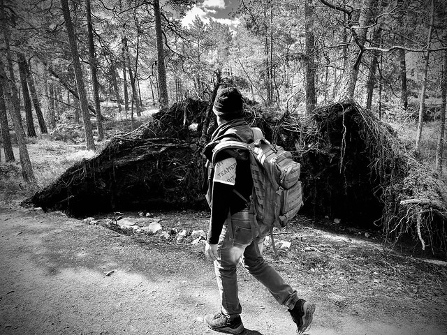 An uprooted tree and a trekker