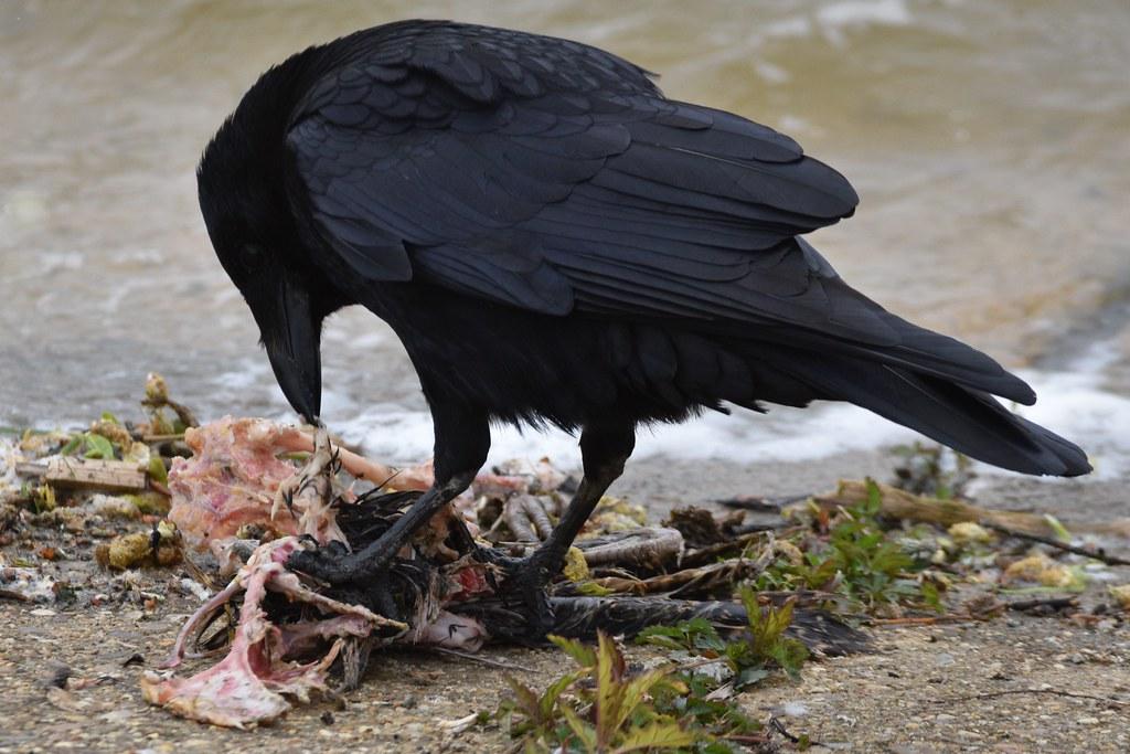 Carrion Crow