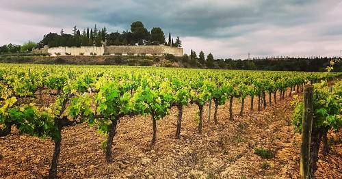 Mar de #vinyes al peu de la #masia #Gelida #Penedès