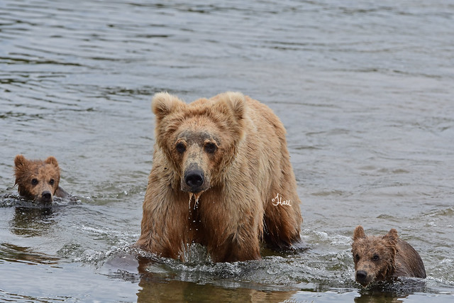 Brown Bear Sow and Cubs After Swimming to Shore - 5681b+