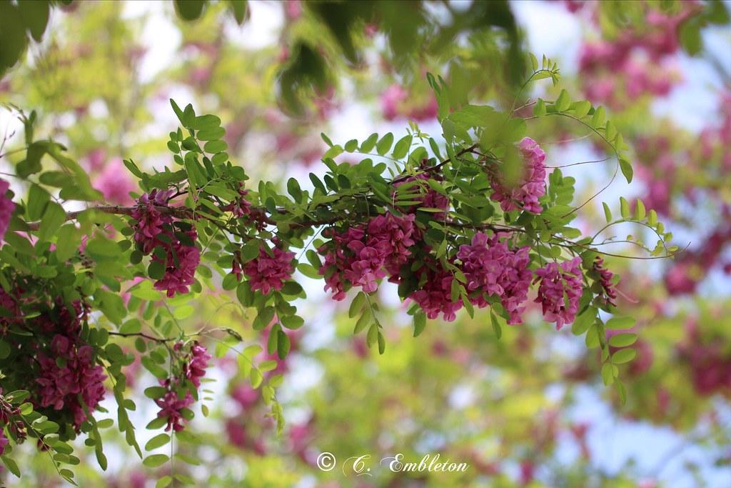 Purple Robe Locust Tree (Explorer 5/3/2021)