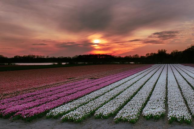 Golden Hour In Flower Season