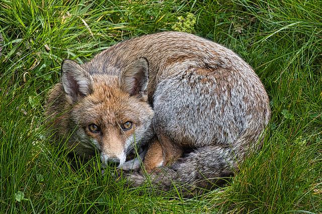 Fox Nest