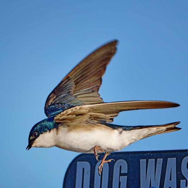 Takeoff: Tree Swallow