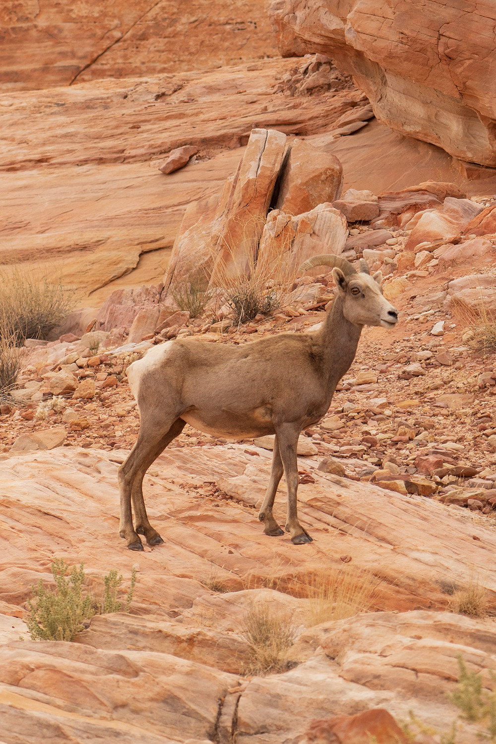 16valleyoffire-vegas-nevada-bighornsheep-wildanimal-travel-photography