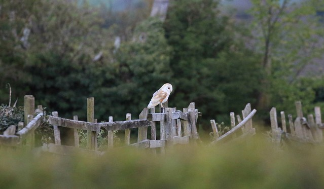 Barn owl at dusk .