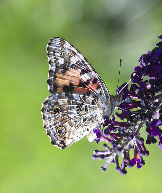 Painted_Lady_Butterfly_GY8A5205