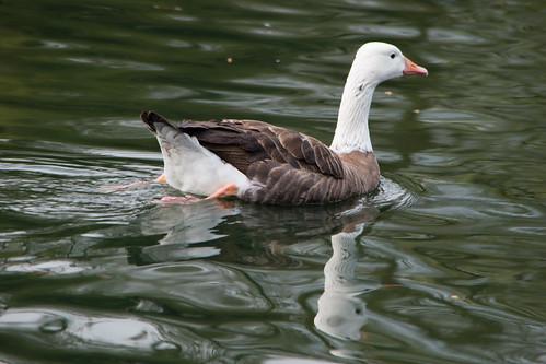 Cross goose, West Park