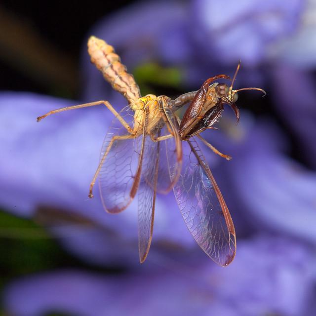 Wasp mimic Mantidfly