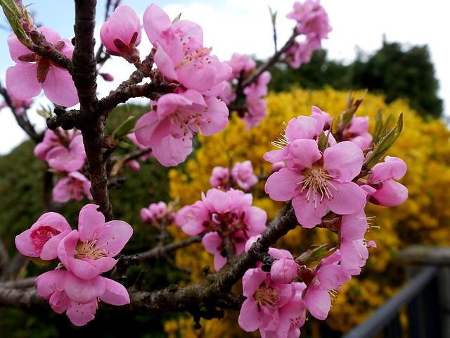 Pfirsich-Blüten   /   Peach blossoms